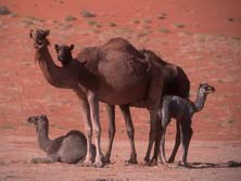 Arabien, Oman-Expeditionen - Kamele in der Rub al Khali